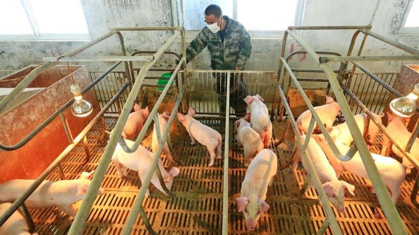 Especialistas piden tomar medidas de prevención ante esta nueva cepa de gripe porcina.(EFE/EPA/ZHONG MIN/Archivo)