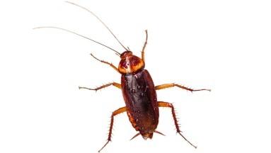 la exposición constante, e intensiva a las proteínas de la cucaracha, especialmente en vida temprana, sí pueden provocar asma y a alergias.