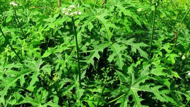 Té de chaya: Conoce las propiedades medicinales de esta planta