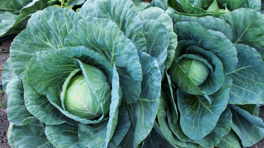 Las mejores cosechas de la col se obtienen a finales del invierno o principios de la primavera.(Pixabay.)