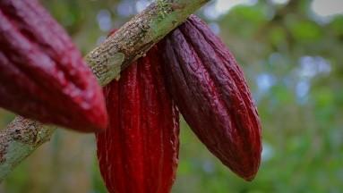 Aquellos que comieron cacao mostraron mejoras en su rendimiento y los beneficios también variaron dependiendo del grupo demográfico.